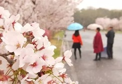 Cherry Blossom Festival to kick off in Lushunkou