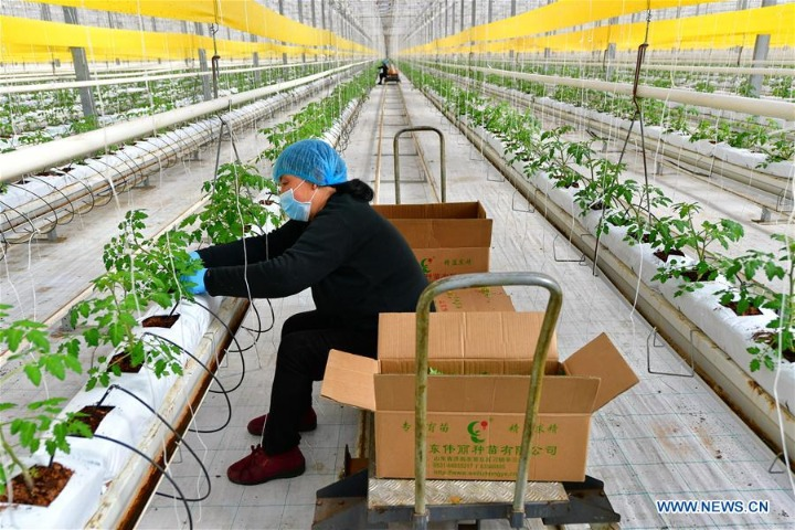 Farmers in Shanxi start cultivating work of tomato seedlings during early spring season