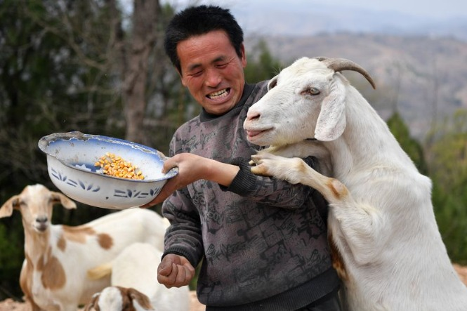 China imports about 1,500 breeding goats from Australia