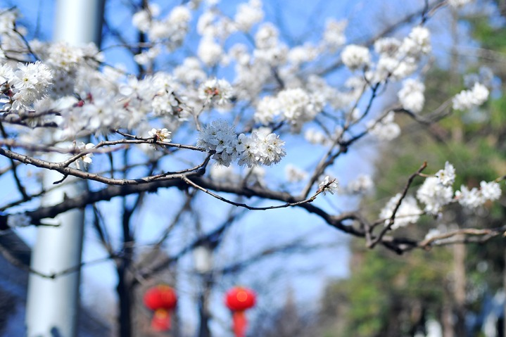 Sakura heralds coming of spring