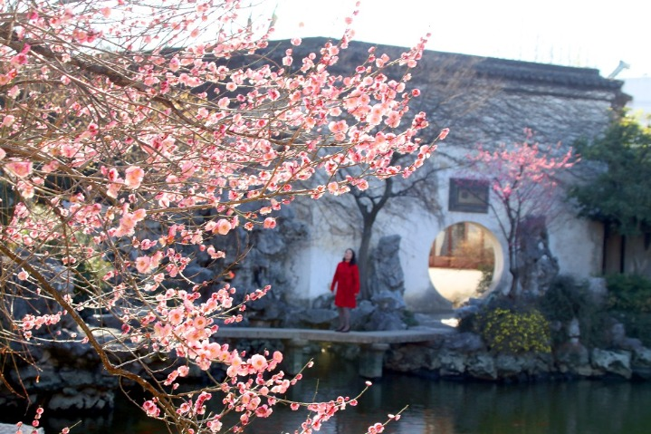 Plum blossoms offer nice springtime in ancient Suzhou garden