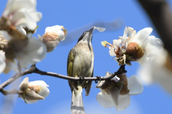 Magnolias and birds perform a 'Spring Sonata' in Anhui