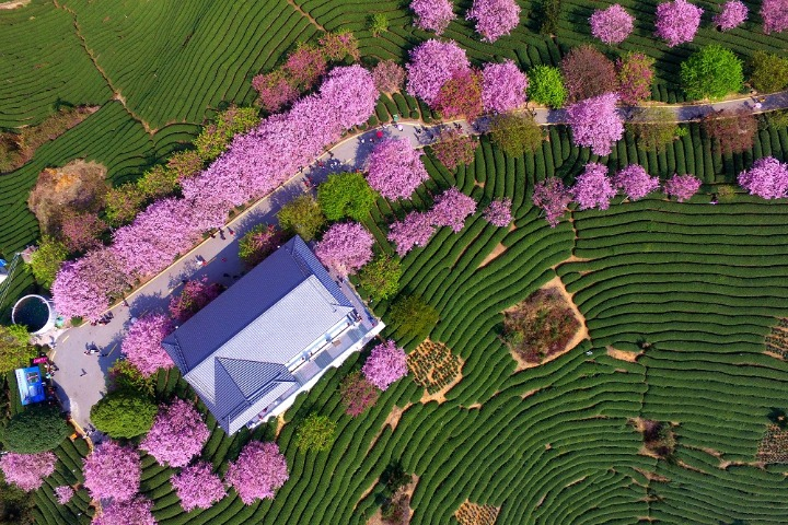 Floral tea garden add colors to spring time in Fujian