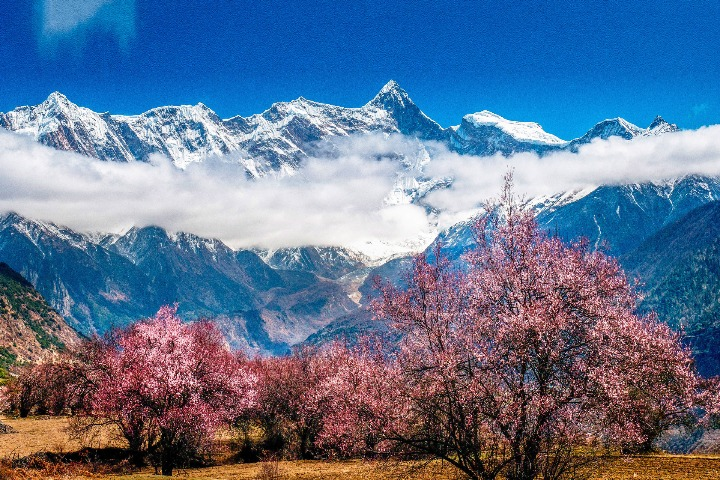 Annual peach blossom festival to start in Tibet this week