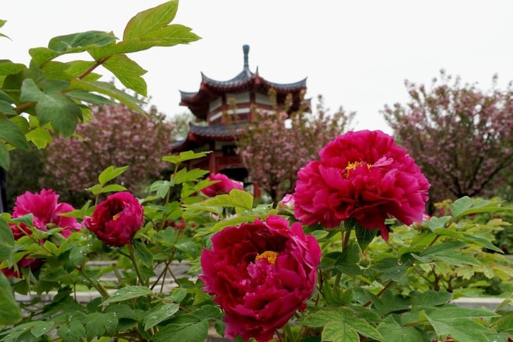 First-ever peony museum to open in Central China's Henan