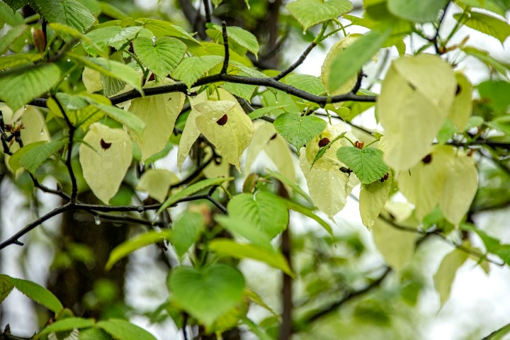 Dove-tree add to floral charms in Sichuan
