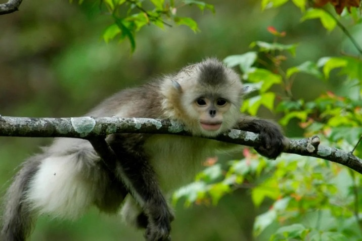 Green book on protecting golden monkeys in Yunnan published