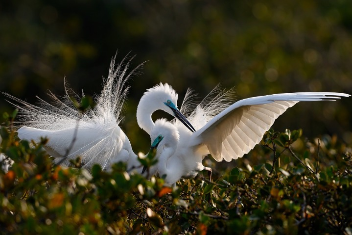 Mangrove forests makes up egrets' paradise in Guangxi
