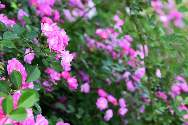 Roses start blooming in Handan